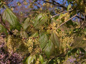 Acer sterculiaceum ssp franchettii