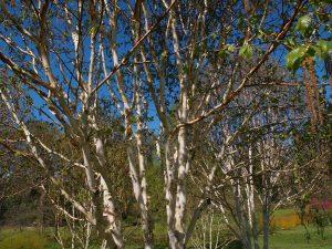 Betula utilis var jacquemontii 'Greyswood Ghost'