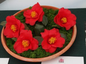 Camellia japonica 'Aitonia'