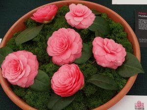 Camellia japonica 'Sacco Vera'