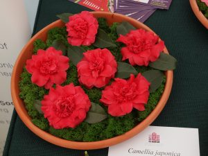 Camellia japonica 'Woodsii'