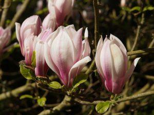 Magnolia soulangeana 'Rubriflora'