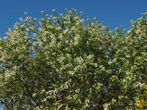 Prunus maakii 'Amber Beauty'