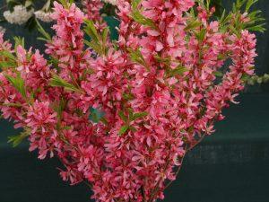 Prunus tenella 'Firehill'