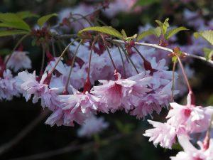 Prunus incisa 'Omoinoyama'