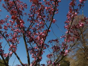 Prunus 'Royal Burgundy'