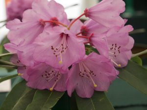 Rhododendron huianum