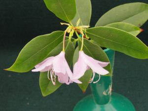 Rhododendron letouchae