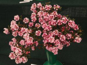 Rhododendron primuliflorum