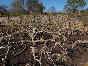 wisteria clump