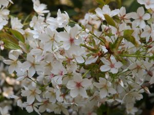 Prunus Jo-Nioi