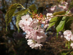 Prunus 'Matsumae-Asami'