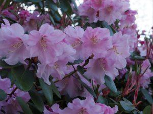 Rhododendron 'Arthur'