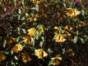 Rhododendron cinnarbarinum