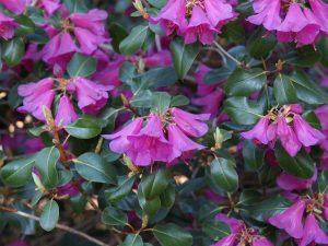 Rhododendron cinnarbarinum subsp xanthocodon 'Purpurellum Group'