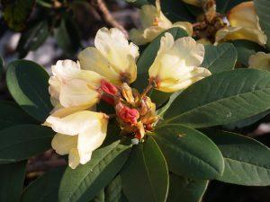 Rhododendron 'Joanita'