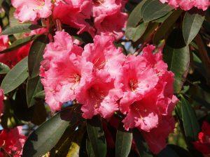 Rhododendron 'Queen Wilhelmina'