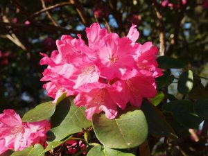 Rhododendron orbiculare x 'Richard Gill'