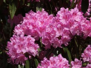 Rhododendron rubiginosum 'Wakehurst'