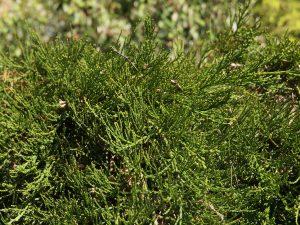 Sequoiadendron giganteum 'Pygmaeum'