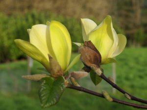 Magnolia 'Lemon Star'