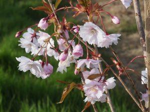 Prunus 'Horinji'