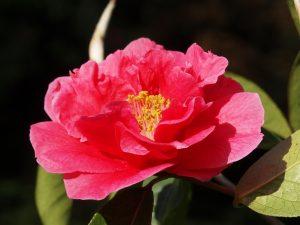 Camellia reticulata 'Crimson Robe'