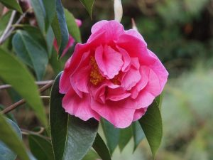 Camellia reticulata 'Crimson Robe' x 'Arch of Triumph'