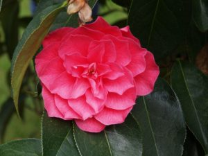 Camellia reticulata 'Dobro'