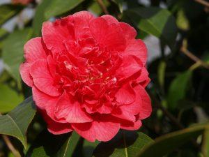 Camellia reticulata 'Dr Clifford Parks'