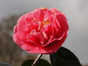 Camellia reticulata 'Emma Gaeta'