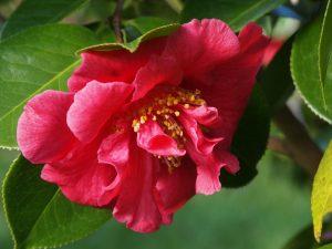 Camellia reticulata 'Fortyniner'