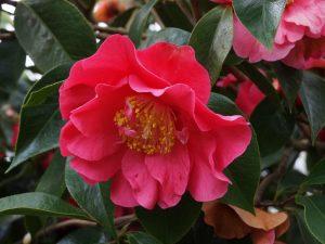 Camellia reticulata 'Frank Houser'