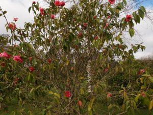 Camellia reticulata 'Hulyn Smith'