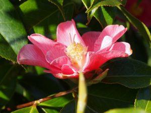 Camellia reticulata 'Interval'