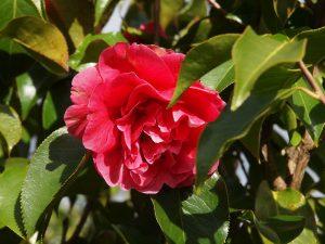 Camellia reticulata 'Lady Piet'