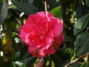Camellia reticulata Nuccio's No 18