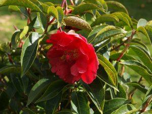 Camellia reticulata 'Nuccios Ruby'