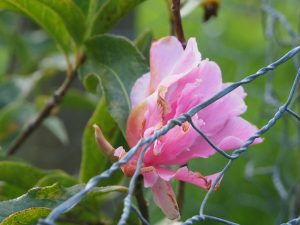 Camellia reticulata 'Pink Dahlia'