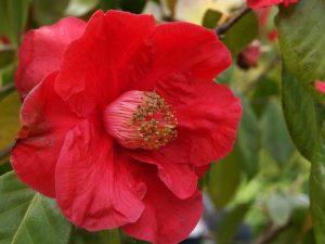 Camellia reticulata (hybrid) 'Red Chrystal'
