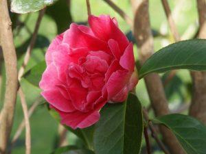 Camellia reticulata 'Red Emperor'
