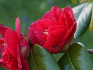 Camellia reticulata 'Satans Robe'