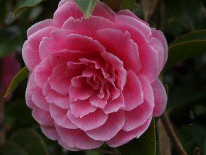 Camellia reticulata 'Simpatica'