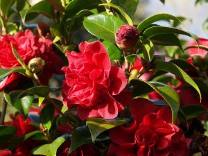 Camellia reticulata 'Tom Knudsen'