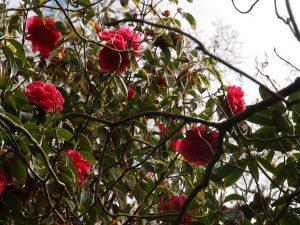 Kumming Camellia