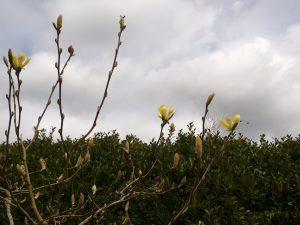 Magnolia 'Maxine Merrill'