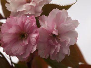 Prunus 'Hokusai'