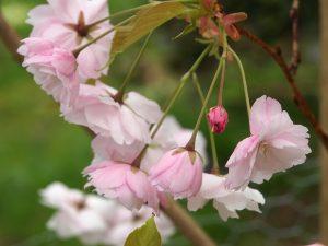 Prunus ichiyo (syn 'Pink Champagne')
