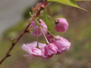 Prunus 'Matsumae-beni-murasaki' (syn 'Candy Floss')