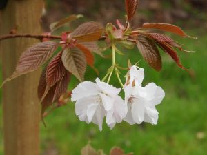 Prunus 'Matsumae-fuki' (syn 'Chocolate Ice')